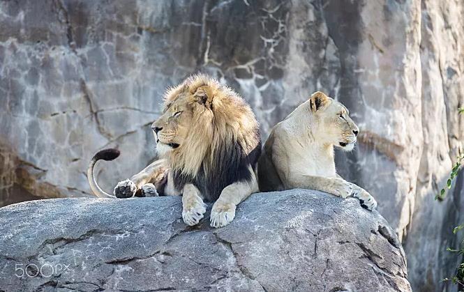 狮子手绘侧面头