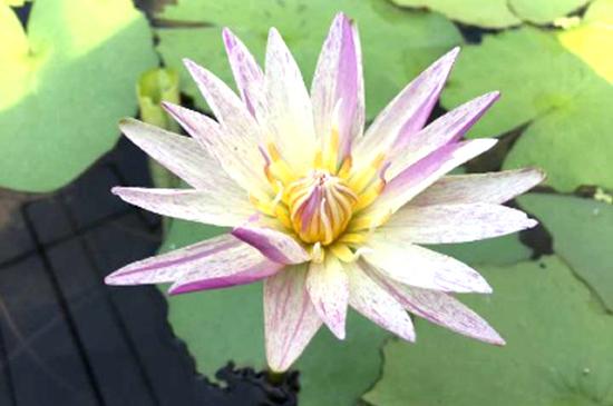 睡莲种子播种实属不易,因为睡莲的种子细小,小苗嫩弱,稍有不慎