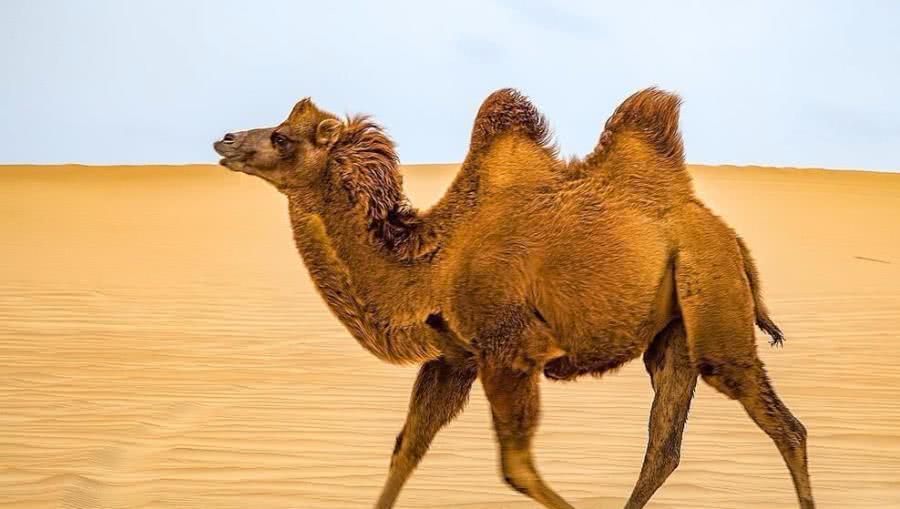 1,骆驼:这种为沙漠而生的动物,生命力极强,骆驼的两个驼峰里面存有