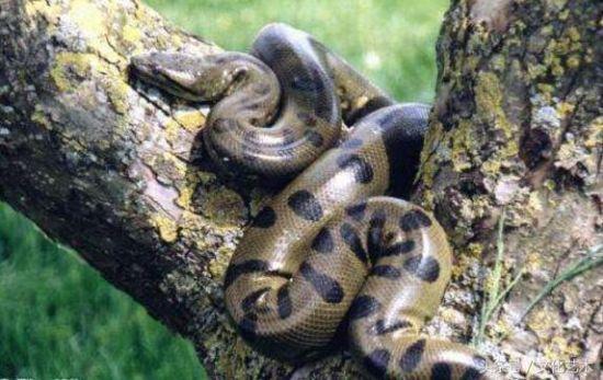 """""""大蛇为蟒, 大蟒为蚺""""这种巨大的蟒蛇, 几乎没有天敌"""