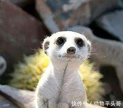 地球上10大最萌的动物,考拉第六,企鹅第五,大熊猫第三