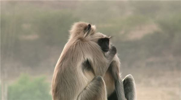 专家利用假猴子混入猴群做实验,事故发生后猴群的反应图片
