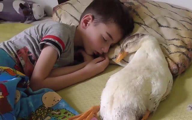 这大白鸭是仰躺着睡觉的,毛绒绒的肚子摊在那,真的相当可爱.