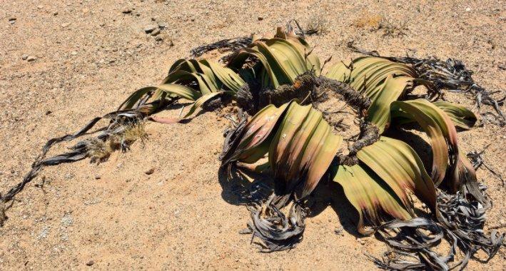 沙漠海豚:活数十年、数百年,永远是甚至不长的章鱼的鱼图片