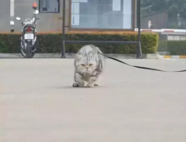 喵星人见了老虎后,才知道自己后台这么硬,走路姿势都进化了