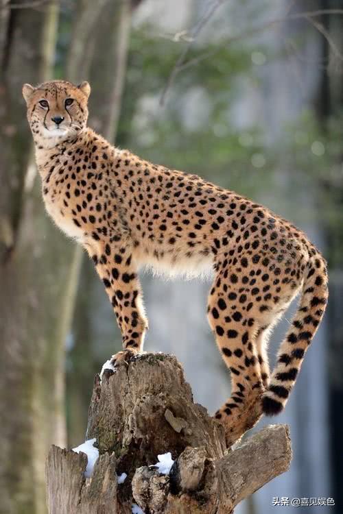 猫科动物们小时候与成年后颜值变化有多大