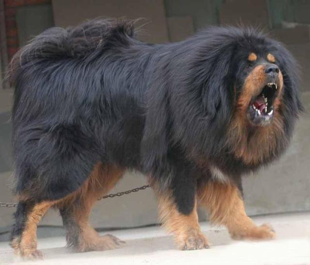 战斗力最强的世界级名犬排名