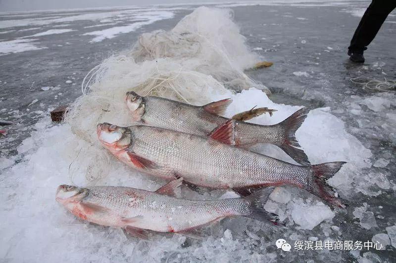 [兴凯湖大白鱼价格]兴凯湖大白鱼精选