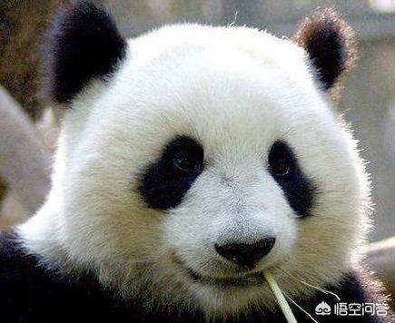 大熊猫虽然看起来可爱,圆滚滚的,但是战斗力不是吹的!