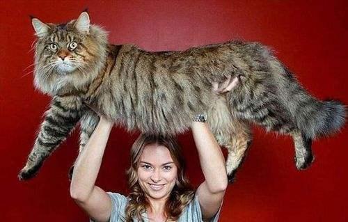乌克兰巨猫angie_世界上最大的猫不是乌克兰巨猫?核辐射变异原来是一场
