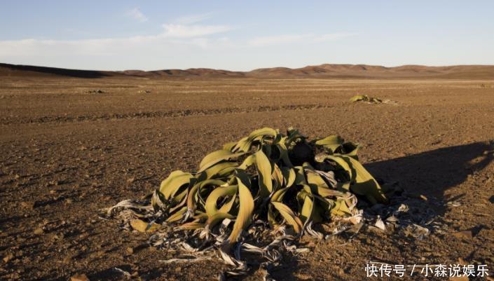 非洲章鱼出现大沙漠,生存附近的水分吸收,已鳄鱼潭歌曲图片