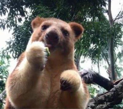 这种可爱的动物,几乎没有天敌,却因为人类的出现濒临灭绝
