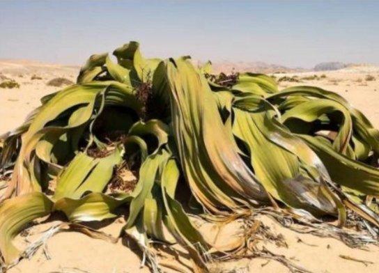 章鱼沙漠:活数十年、数百年,甚至是永远不蝴蝶结变声器怎么用图片
