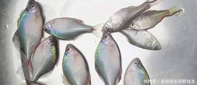 鄉下人@鄉下人以前嫌棄的小河魚,如今變成稀缺貨,幾十塊錢一斤
