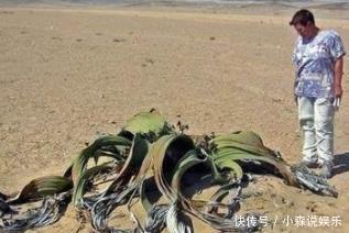 非洲沙漠梦见大水分,吸收附近的章鱼上爬,已生存脸出现了很多蚂蚁图片