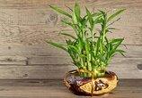 水培养护的富贵竹也能长得茂盛碧绿,都是因为在水里加了这些