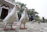 鸽子肉营养价值高!这5种人却多吃一口都不行!