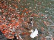 鲤鱼太多,鸭子踩鱼行走成景观,为小镇带来不菲的收入
