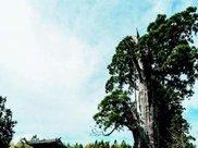 """中国的""""树坚强"""",已经存活1500年,如今树身被掏空靠营养液维持"""