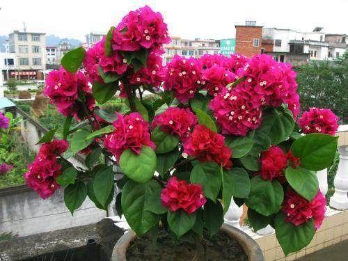 我有四季美男群,此種三角梅只要隨意種植,都能百花齊放,嬌艷美麗