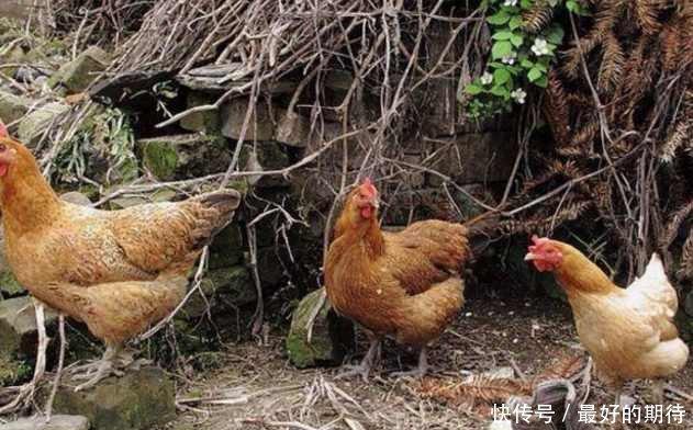 老母亲去鸡窝捡鸡蛋,结果看到其中一窝的鸡蛋后,顿时就傻眼了