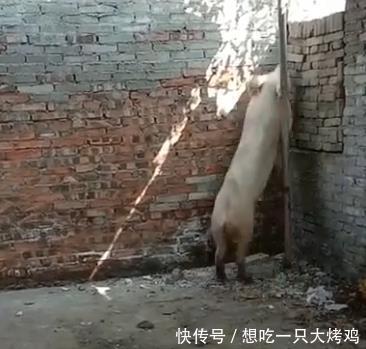 监控@怀疑被人偷走, 查看监控后大家不淡定了,老农养的猪不见了,