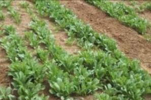 药、菜两用的板蓝根,掌握种植管理技术,你也能种出高产的芽苗菜