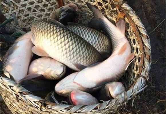 女子救下一条怀孕鲤鱼,每天给它喂食,不久后女子惨死家中