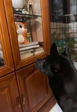 狗狗半夜都不愿意睡觉,盯着主人新夹的公仔,这不是给我的玩具吗