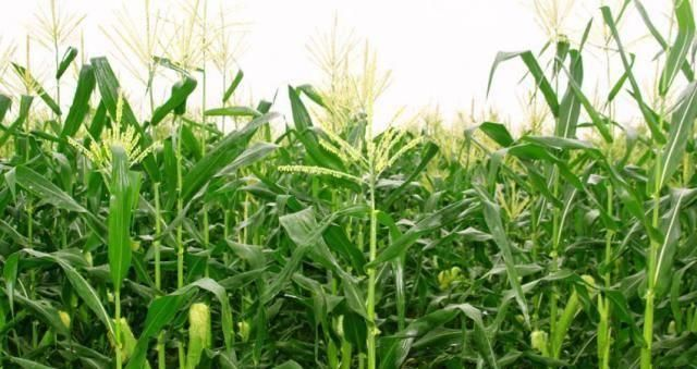 """『玉米皮』""""藏""""在玉米地里的4种宝,不是只有玉米,全认识的才是""""大神"""""""