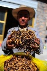 虫草已入危,减产的虫草价格正在猛涨,今年那曲冬虫夏草什么价格