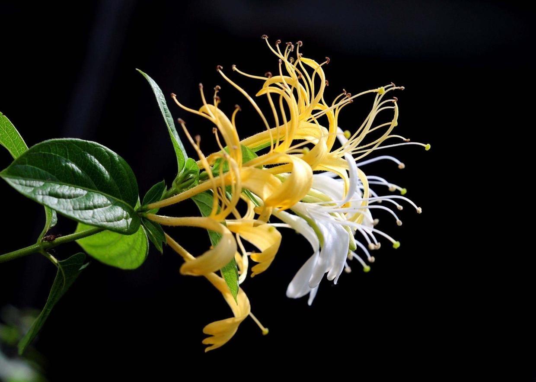 『有毒』这花特像金银花,但是有毒,看见一定躲着走!