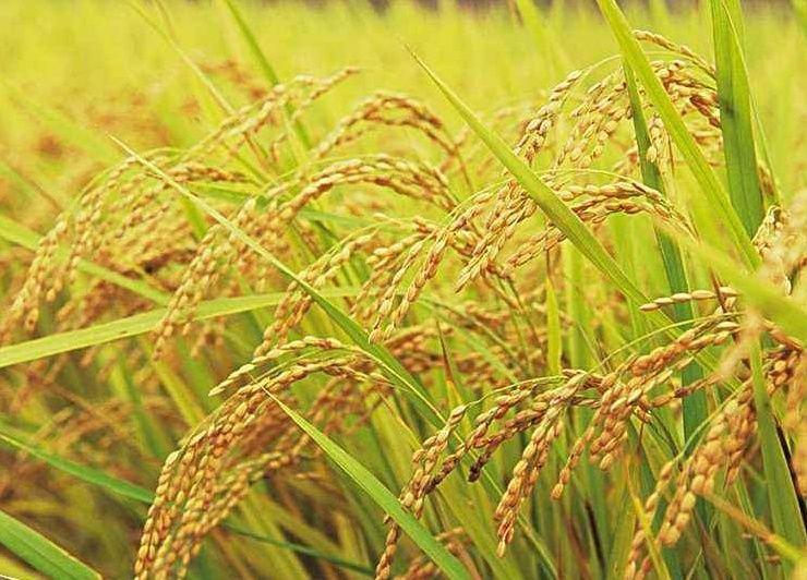 早稻收购价格不足1.1元/斤,2018年我国稻谷价格或将全面下跌!