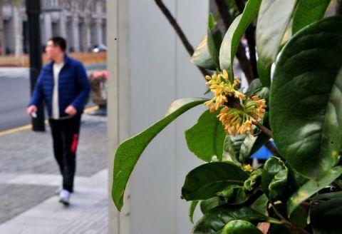 寒冬季节桂花绽放