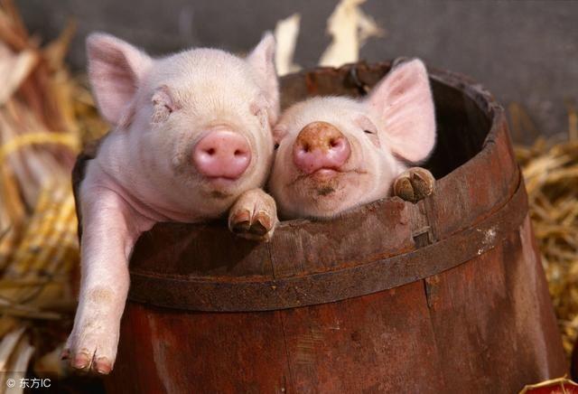 人人贷网站六月猪价黄金时期,生猪价格将迎来三大优势,高达20%