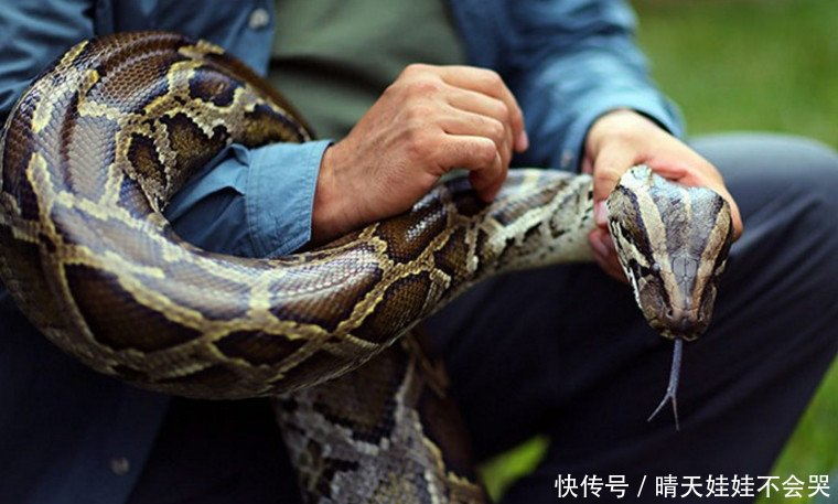 美国城市遭遇蟒蛇