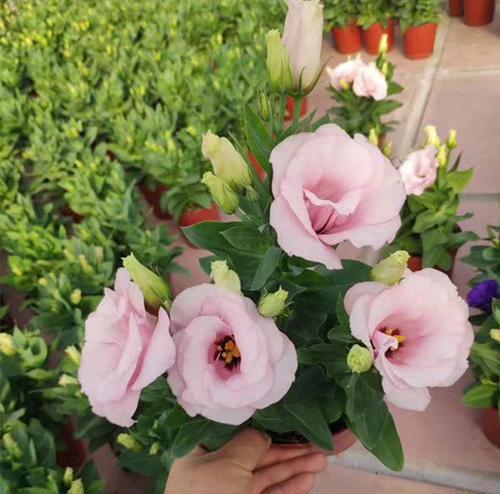 『值得』家庭养花选它,沾土就能生根,每次花开大半年,值得拥有