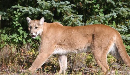 『美洲狮』美洲狮是兽中之王, 还是臣服于熊 狼 美洲虎等更强的食肉动物?