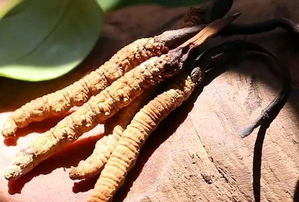 冬虫夏草能和蜂蜜一起吃吗?藏民解说冬虫夏草配蜂蜜的功效作用
