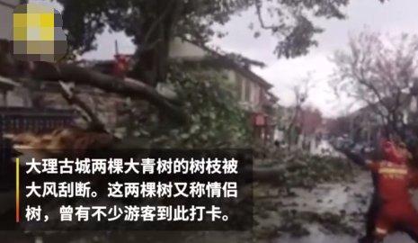大理古城500年情侣树被风吹断,众多游客曾来此打卡图2