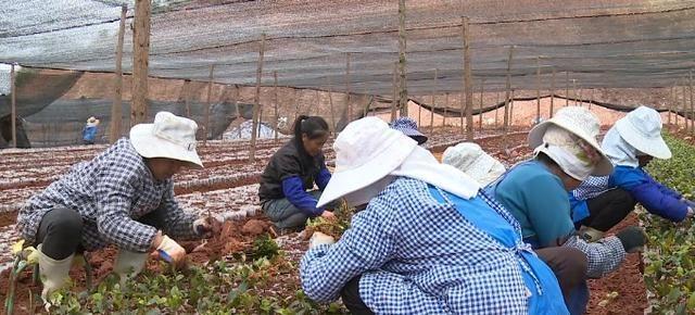 十年攻关!广南研发出油茶嫁接新技术