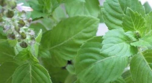 提味增:农村不起眼的野菜,营养价值很高,能清肠排毒、提味增香