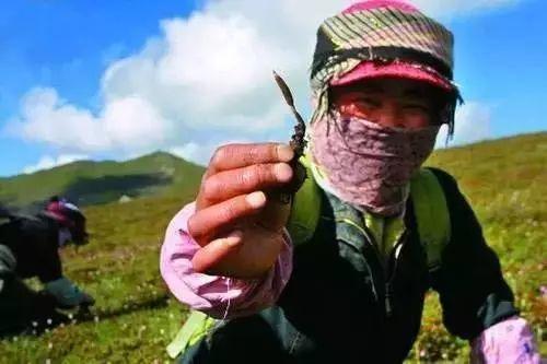 真假虫草的区别?假虫草叫什么?如何识别真假虫草-虫草知道