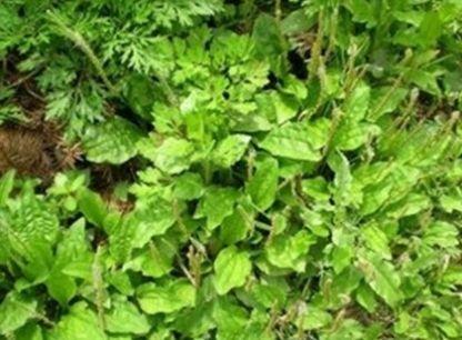 农村随处可见的野草,不但能清热祛湿,还能做成美食