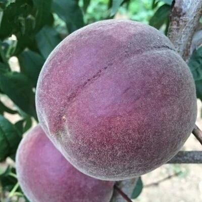 绿萝赶紧扔了吧!此树沾土就活,比蜂蜜甜10倍,养1棵家园变果园(二)