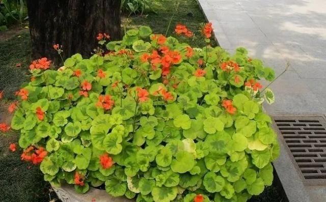 """适合:适合新手栽培的天竺葵,花色绚丽好养活,常年花开""""颜值""""高!"""