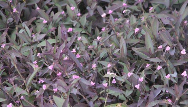 农村常见的植物,开出紫色花,如今农民靠它发家致富,你有见过没
