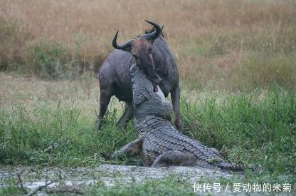 牛羚和鳄鱼干了起来,眼看牛羚就要得逞了,半路却杀出来个程咬金