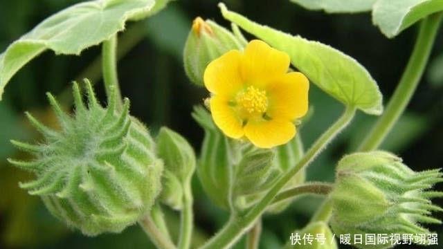 『药用价值』农村以前常见的一种植物,现在很难找到,药用价值很高!