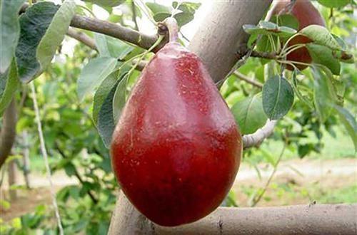 『果树』想种果树又不知道种什么,种它让你水果吃不完